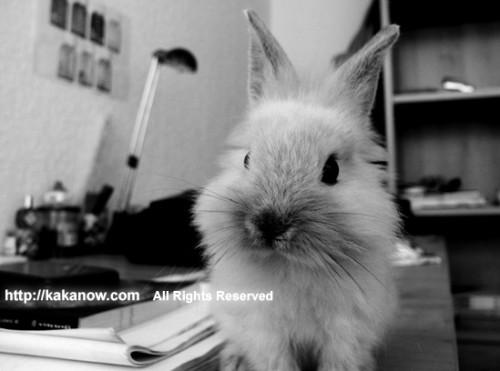 Little rabbit on big desk