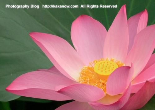 Chinese lotus has a special beauty. China, Beijing, summer vacation, photo by kaka. http://kakanow.com