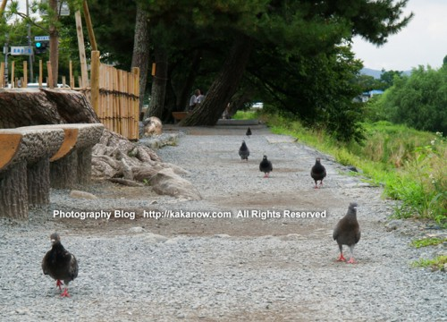 Pigeons at Arashiyama, Kyoto, Japan. Photo by kaka. http://kakanow.com