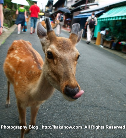 In Todaiji Temple there are many sika deers free play with tourists. Japan, Nara. Photo by KaKa.
