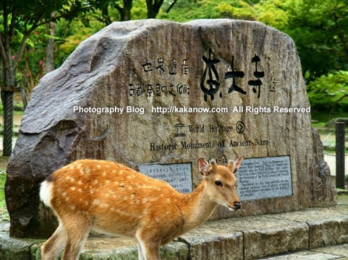 Japan-Nara-Park-Todaiji-Temple-photo3-sika-deer-kakanow