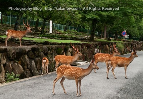In Nara Park, Todaiji Temple there are many sika deers free play with tourists. Japan, Nara, Photo by KaKa.
