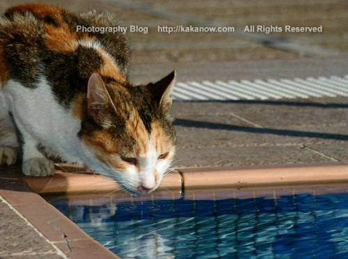 I see a cat in my hotel, and it drink the swimming pool water. Tunisia, North Africa, Photo by KaKa