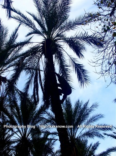 Lovely oasis in the desert of Tunisia, the people climbing into the Date Palm tree. Tunisia, North Africa, Photo by KaKa