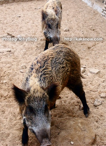 Lovely oasis in the desert of Tunisia. There are a little zoo in the oasis, wild boar. Tunisia, North Africa, Photo by KaKa