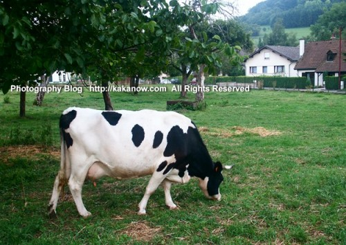 Cow in small village in Luxembourg. Tour Benelux. Photo by KaKa.