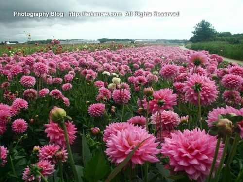The Netherlands car drive travel, Holland countrside cosmos hanada, Photo by KaKa.
