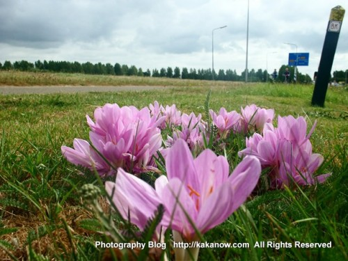 The Netherlands countryside hanada(flower paddies). Holland car drive travel, Photo by KaKa.