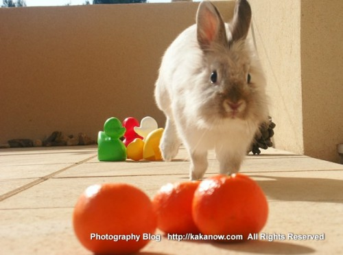 Little rabbit Lapinpin and orange. Southern France, Marseille, photo by KaKa.