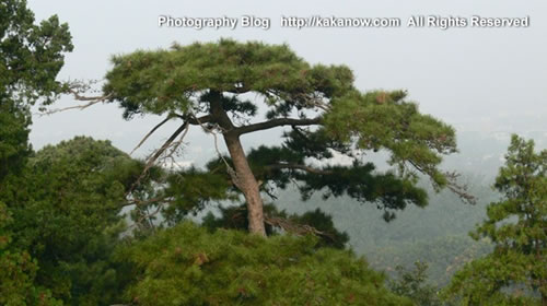 Pine tree in Yiheyuan, the summer palace. China Beijing vacation. Photo by KaKa