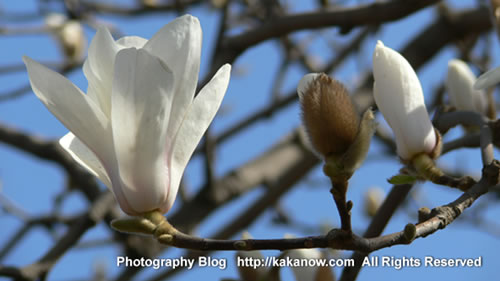 The spring of Beijing Yiheyuan, Magnolia flower, China. Photo by KaKa.