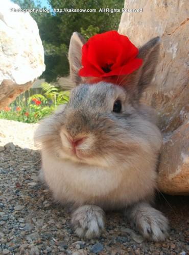Little rabbit love spring in France. Corn poppy flower, Photo by KaKa.