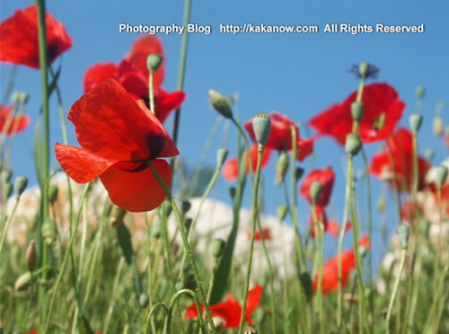 Elegant corn poppy flower in southern France in spring. Photo by KaKa.