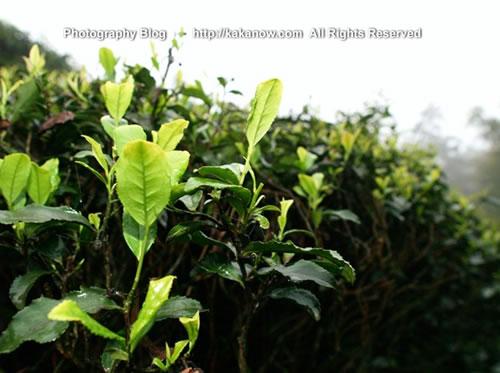 China travel, Chongqing Yongchuan, the Tea Mountain. Photo by KaKa.
