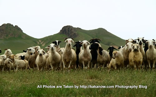 China travel, Inner Mongolia, Horqin Prairie, Goats. Photo by KaKa.