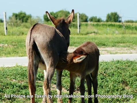 China travel, Inner Mongolia, Horqin prairie, donkey mother and her baby. Photo by KaKa.