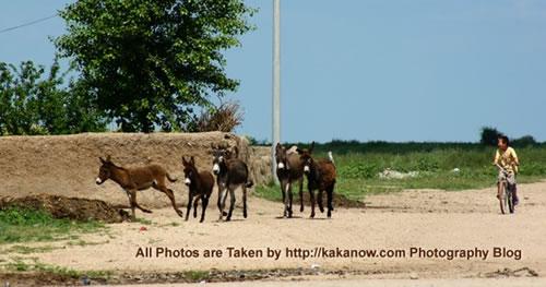 China travel, Inner Mongolia, Horqin prairie, donkeys and a child. Photo by KaKa.