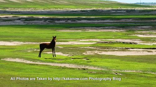 China travel, Inner Mongolia, Horqin prairie, horse. Photo by KaKa.
