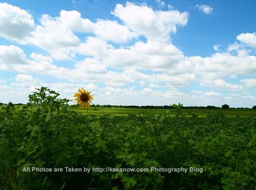 China travel, Inner Mongolia, Horqin Prairie, sunflower. Photo by KaKa.