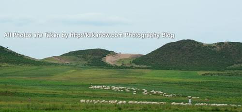 China travel, Inner Mongolia prairie, goat flock. Photo by KaKa.
