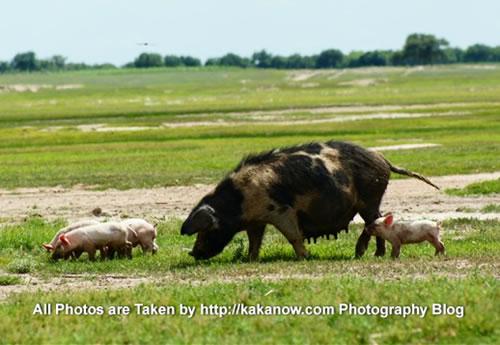 China travel, Inner Mongolia, Horqin prairie, pig in village. Photo by KaKa.