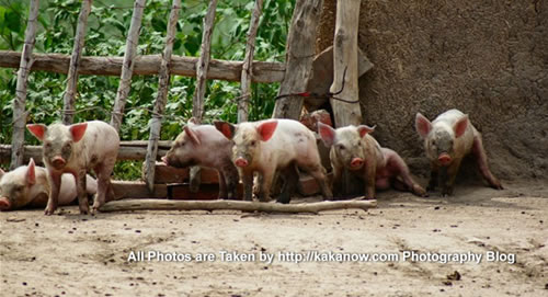 China travel, Inner Mongolia, Horqin prairie, piggy in village. Photo by KaKa.