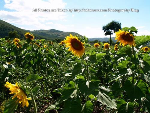 China travel, Inner Mongolia, Hing'an, Aer Mountain, sunflower. Photo by KaKa.