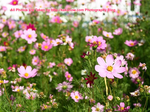 China travel, Inner Mongolia, Hing'an, Aer Mountain. Flowers in Aer town. Photo by KaKa.