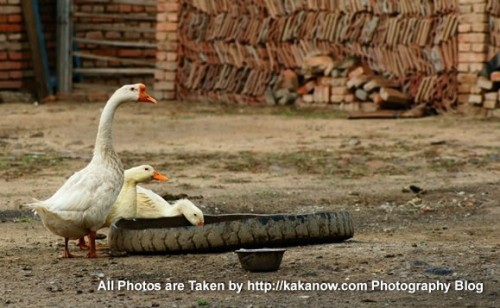 China travel, Inner Mongolia, farmyard gooses. Photo by KaKa.