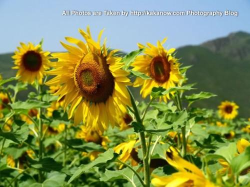China travel, Inner Mongolia, Ulanhad, Hexigten, Reshui. Very Large area of sunflower. Photo by KaKa.
