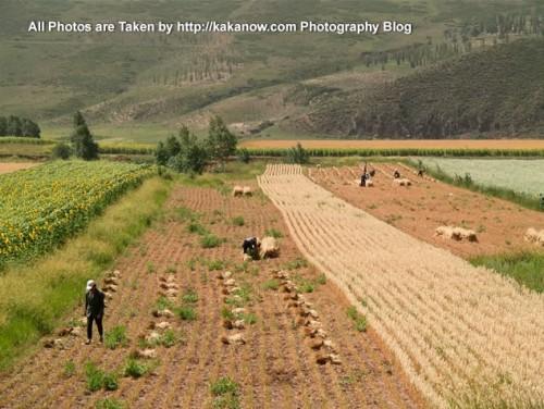 China travel, Inner Mongolia, Ulanhad, Hexigten, Reshui. Farmers harvesting wheat by hand. Photo by KaKa.