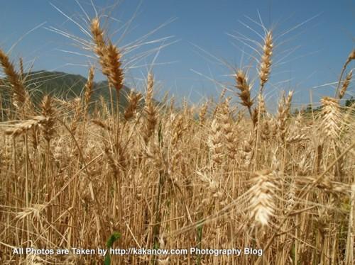 China travel, Inner Mongolia, Ulanhad, Hexigten, Reshui. Mature wheat. Photo by KaKa.