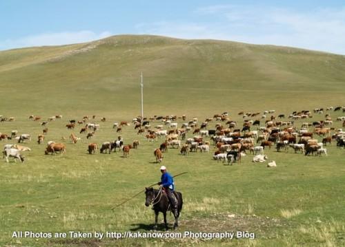 China travel, Inner Mongolia, Keshiketeng, herdsman and his cattle. Photo by KaKa.