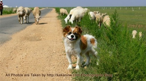 China travel, Inner Mongolia, Xilin Gol, a sheep-poodle and his flock. Photo by KaKa.