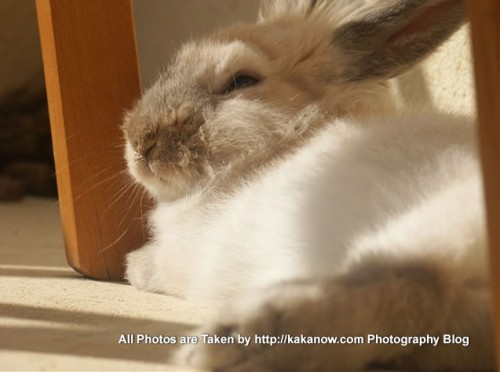 France, Marseille. Pet rabbit Lapinpin enjoying the sunshine on the terrace. Photo by KaKa.