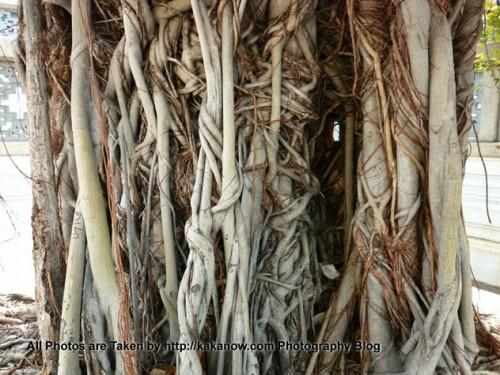 Thailand travel, Bangkok, big banyan tree. Photo by KaKa.