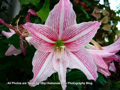 Thailand travel, Chiang Mai, Lily flower. Photo by KaKa.