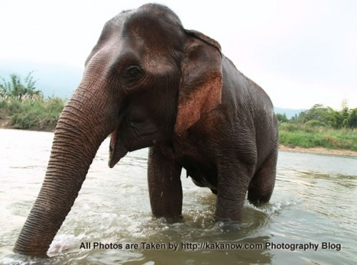 Thailand travel, Chiang Mai, in an elephant camp, elephants bathing in a small river. Photo by KaKa.