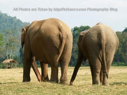 Thailand travel, Chiang Mai, in an elephant camp, an elephant couples. Photo by KaKa.