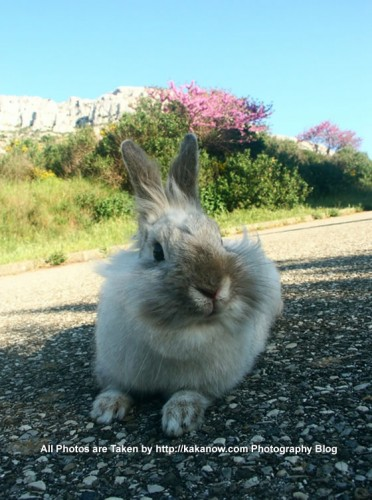 France, Marseille, little rabbit Lapinpin, in spring. Photo by KaKa.