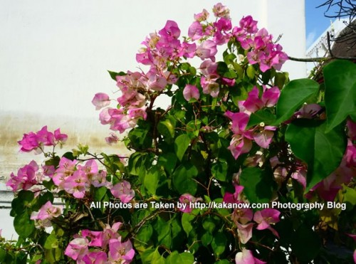 Thailand travel, Chiang Mai, Pink Bougainvillea. Photo by KaKa.