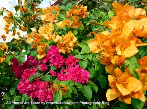 Thailand travel, Chiang Mai, golden and rose red Bougainvillea. Photo by KaKa.