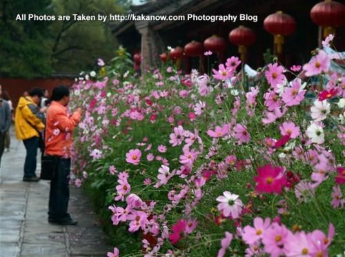 China travel, Shanxi Province, Wutai Mountain. Gesang flowers in Tibetan Buddhism Temple. Photo by KaKa.